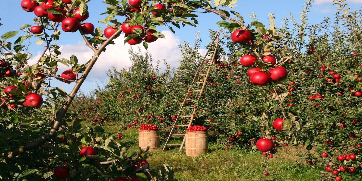 California activity, Apple picking, apple picking in ca, oak glen, willowbrook apple farm