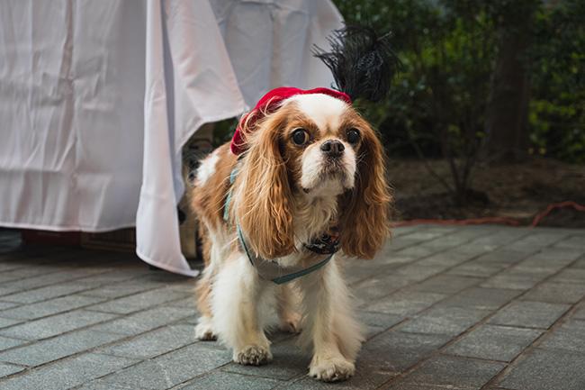 cocker spaniel dog, cocker spaniel costume, cute dogs
