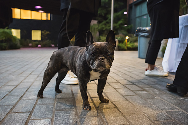 french bulldog, frenchie, cute dog