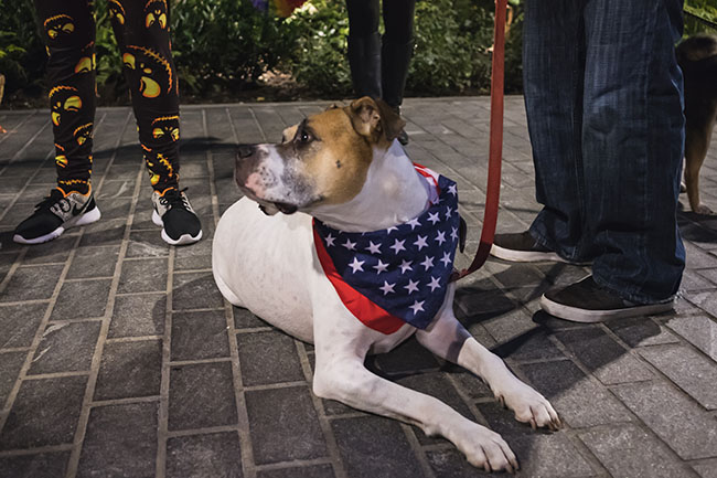 boxer, pit bull, mixed breed, uncle sam costume, american costume