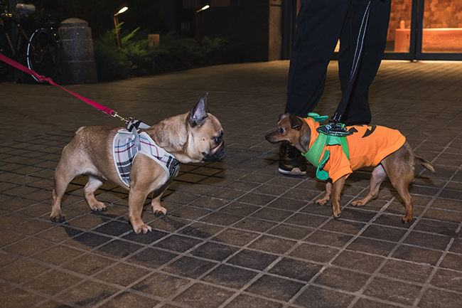 dogs face off, pug bulldog, pumpkin costume, Burberry harness