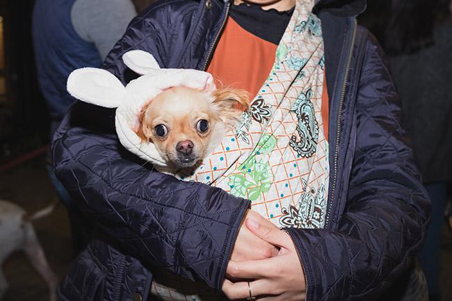 ugly dog, chihuahua, rabbit eats, dog as rabbit