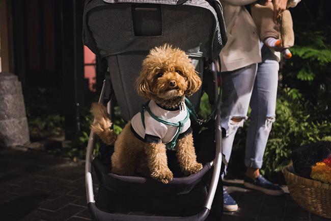 dog in stroller, adorable dog, hairy, fur, hypoallergenic