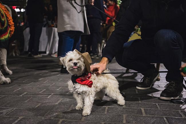 cowboy costume for dog, small dog, maltese, morkie