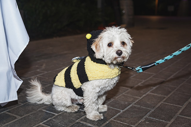 maltipoo, bumblebee costume for dogs, transformers