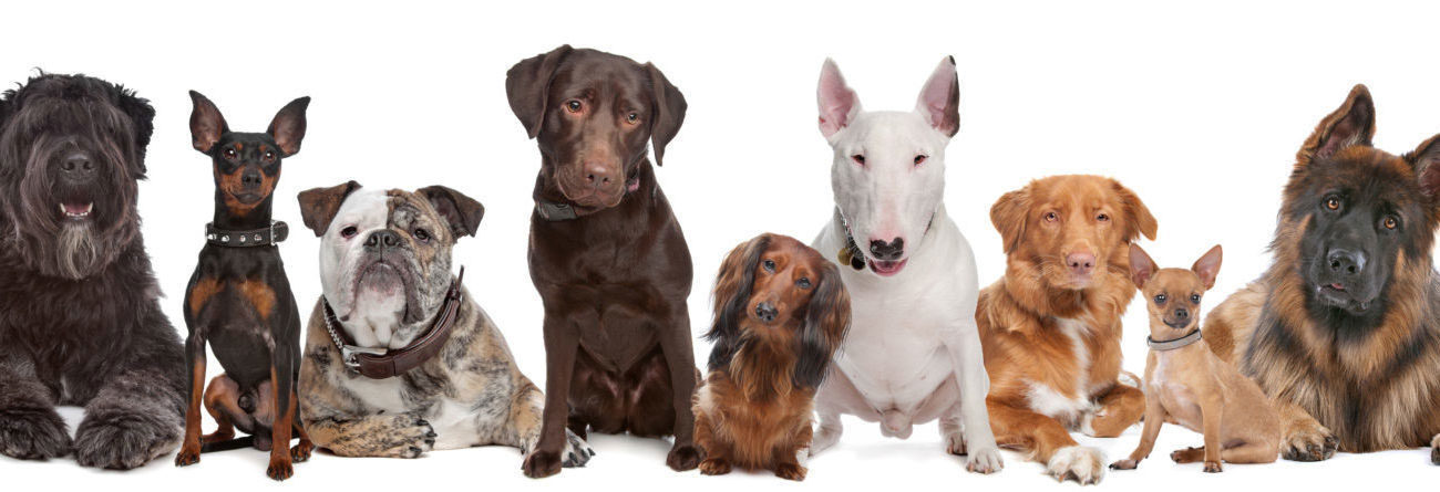 dogs, dogs against a white background, dogs standing together