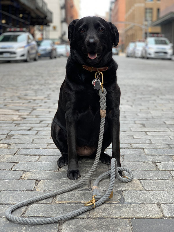 Black lab, black lab in New York, dog on the street