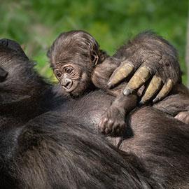 baby gorilla, baby gorilla los angeles zoo
