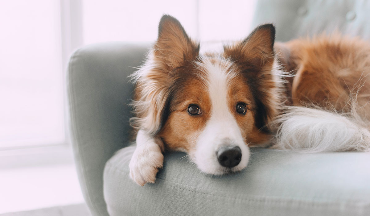 dog, collie, pretty dog, dog on a sofa