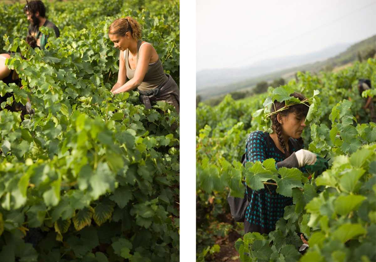 chateau d'esclans, picking grapes, wine making